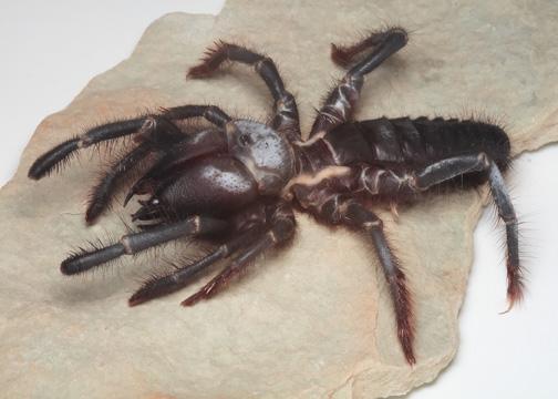 Karakum_Desert_Spider